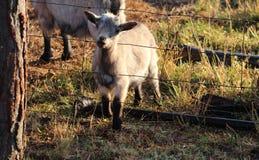 Коза младенца хотеть вне Стоковые Изображения RF