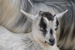 Коза младенца Стоковая Фотография RF