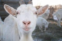 Коза намордника белая с рожками Стоковые Фото