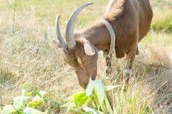 Коза на выгоне, открытый космос Брайна Портрет closeu козы Стоковая Фотография