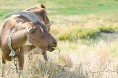 Коза на выгоне, открытый космос Брайна Портрет closeu козы Стоковое фото RF