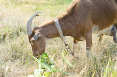 Коза на выгоне, открытый космос Брайна Портрет closeu козы Стоковые Изображения RF