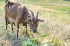 Коза на выгоне, открытый космос Брайна Портрет closeu козы Стоковое Фото