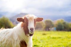 Коза на выгоне - селективный фокус над головой ` s козы, экземпляр s Стоковая Фотография