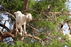 Коза на дереве argan, Марокко Стоковые Изображения