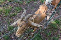 Коза на загородке ждать быть поданным Стоковое Изображение RF
