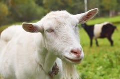 Коза на зеленом луге в деревне Стоковое фото RF