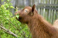 Коза на обеде Стоковое Изображение RF