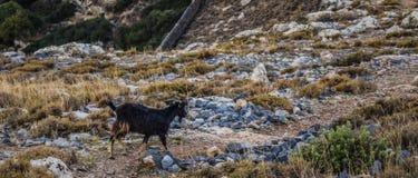Коза на поле и иметь полезного время работы под солнцем лета стоковая фотография
