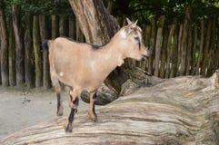 Коза на древесине Стоковая Фотография RF