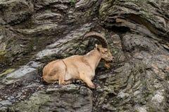 Коза на скале стоковые изображения