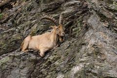 Коза на скале стоковые фото