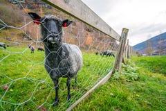 Коза на скотном дворе в Норвегии Стоковая Фотография RF