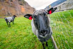 Коза на скотном дворе в Норвегии Стоковые Изображения RF