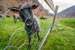 Коза на скотном дворе в Норвегии Стоковое Изображение RF