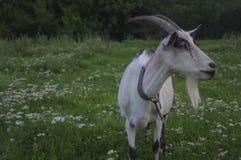 Коза на луге лета Стоковое фото RF