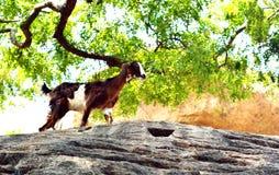 Коза на утесах Стоковые Изображения RF