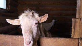 Коза на ферме козы сток-видео