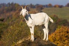 Коза на холме стоковые изображения