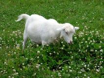 Коза обедая в клевере Стоковые Изображения RF