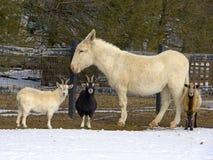 Коза, овца и осел Стоковые Фото