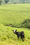 Коза около teplants в Уганде стоковое изображение rf