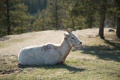 Коза отдыхая на горе стоковая фотография rf