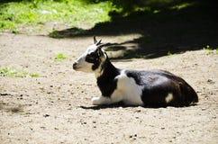 Коза отдыхая на земле стоковая фотография rf