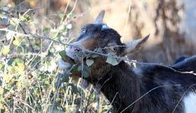 Коза пася в теме отечественных и животноводческих ферм поля, Стоковое Фото