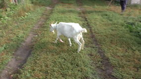 Коза пася на зеленой траве видеоматериал