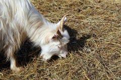 Коза пася сухую траву Стоковое фото RF