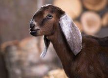 Коза породы Nubian Стоковое фото RF