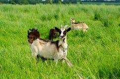 Коза при дети козы пася Стоковая Фотография RF