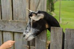 Коза рассматривая загородка Стоковое Фото