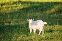 Коза ребенк пасет на зеленой траве лета на солнечный день Еда козы Стоковые Изображения RF