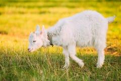 Коза ребенк пасет на зеленой траве лета на солнечный день Еда козы Стоковые Фото