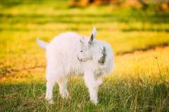 Коза ребенк пасет на зеленой траве лета на солнечный день Еда козы Стоковое Изображение