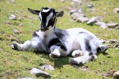 Коза ребенк Стоковое Изображение RF