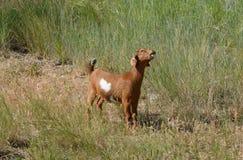 Коза ребенк Kiko Стоковое Изображение
