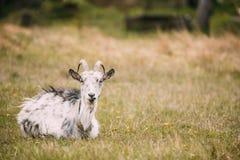 Коза сидя весной трава в деревне 7 животных серий иллюстрации фермы шаржа Стоковые Фотографии RF