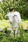 Коза сидя на траве Стоковые Фото