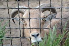 Коза смотря через бары зоопарка провод белизны вектора имеющейся загородки предпосылки безшовный Стоковое фото RF