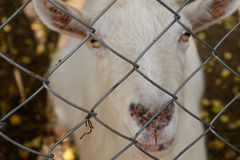 Коза смотря через бары зоопарка провод белизны вектора имеющейся загородки предпосылки безшовный Стоковые Фотографии RF