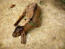Коза сна Стоковые Изображения RF