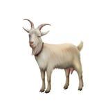 Коза стоя вверх изолированный на белой предпосылке Стоковая Фотография