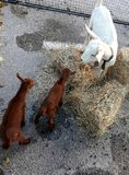 Коза с 2 детьми Стоковая Фотография