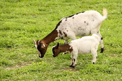 Коза с овечкой Стоковая Фотография RF