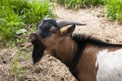 Коза с черной бородой Стоковые Фото