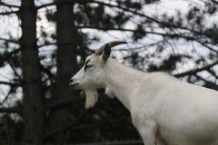 Коза фермы Стоковое Изображение