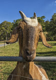 Коза фермы Стоковая Фотография RF